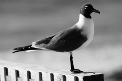 Lagu black and white