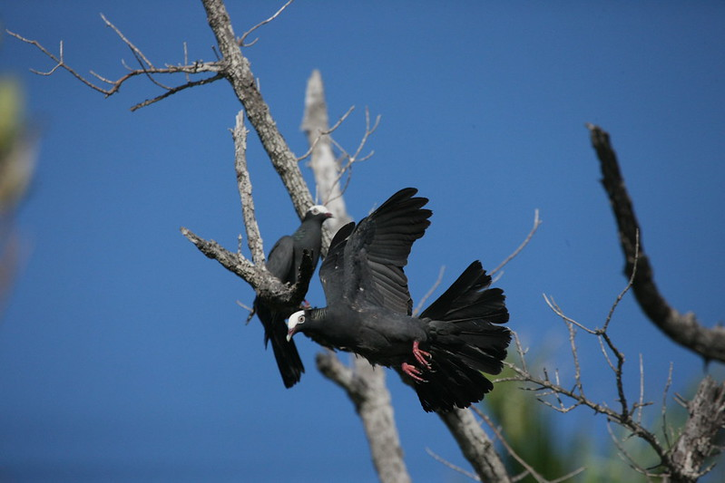 A Pair of white-crowned pigeons on Blue Lagoon Island.